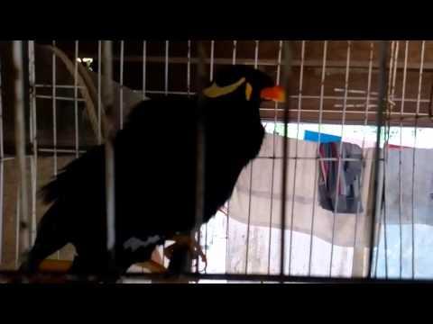 Burung Tiong Yang Boleh Berkata- Kata (mengajuk)