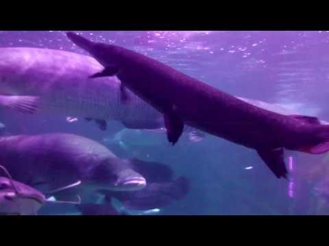 Ikan purba terbesar arapaima seaworld