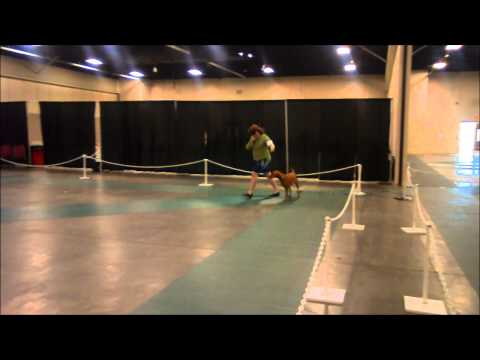Vizsla Conformation Dog Show