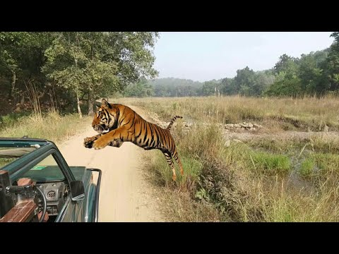 "LIVE ""Tiger attack and kill"" deer in Jim Corbett national park 2k18 