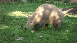Can You Dig It? Meet Zola the Aardvark YouTube Videos