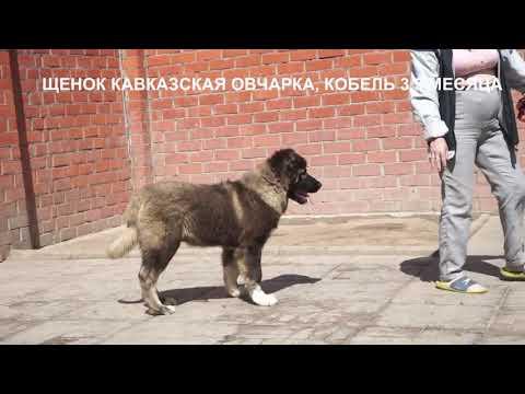 Продажа щенков кавказской овчарки. Www.r-risk.ru +79262205603 Татьяна Ягодкина.