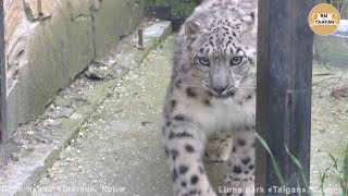 Барс, кормящая тигрица и зов джунглей - это парк Тайган. Snow leopard, tigress and call jungle