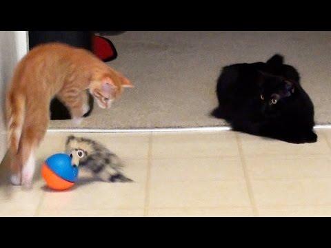Thumbnail for Cat Video A Kitten A Cat & A Weasel Ball