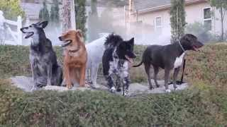 Dog Training Los Angeles- Pit Bull & Golden Retriever Mix Being Rehabilitated.