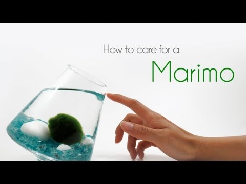 How To Care For Marimos