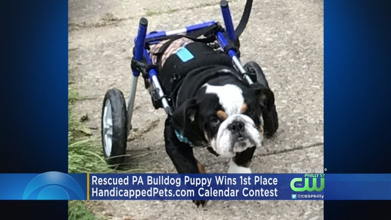 Rescued Pa Bulldog Wins 1st Place In Calendar Contest Youtube