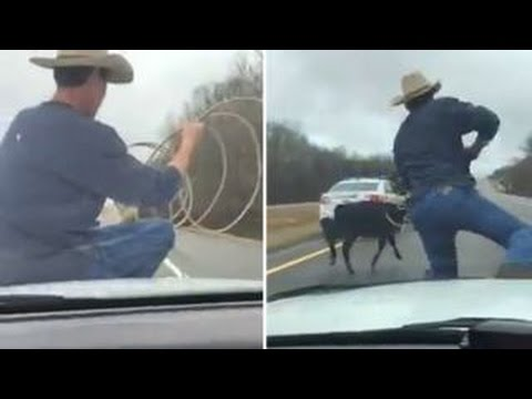 Cowboy lassos escaped calf from hood of cop cruiser
