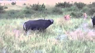 Lion attack The Buffalo Hunt For The Lions life ...