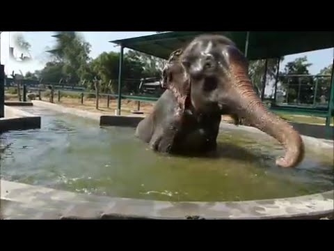 Rescued crying elephant Raju splashes about in pool in India