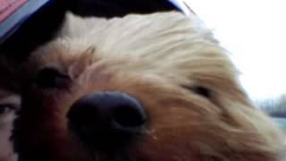 Yorkshire Terrier In Car Eyes Blowing In The Wind Funny