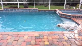 Pit Bull Vs. Golden Retriever At Water Retrievals