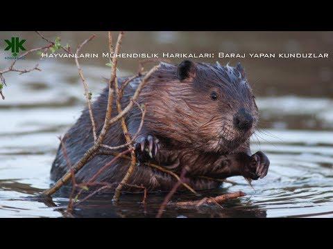 Hayvanların Mühendislik Harikaları: Baraj yapan kunduzlar