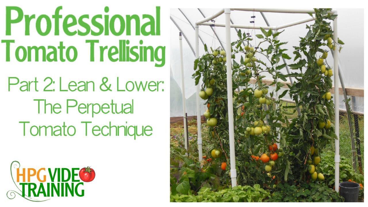 Lean Amp Lower Tomato Vine Technique Easy Pvc Tomato