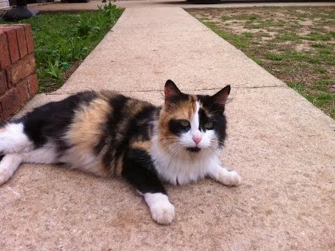 Calico Cat Breed | Information and Facts about Calico Cats