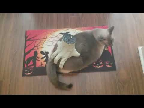 Pablo - Kitty Enjoys Massage From Creepy Halloween Hand