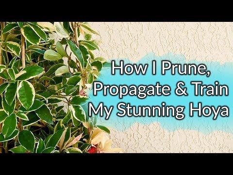 How I Prune, Propagate & Train My Hoya / Joy Us Garden