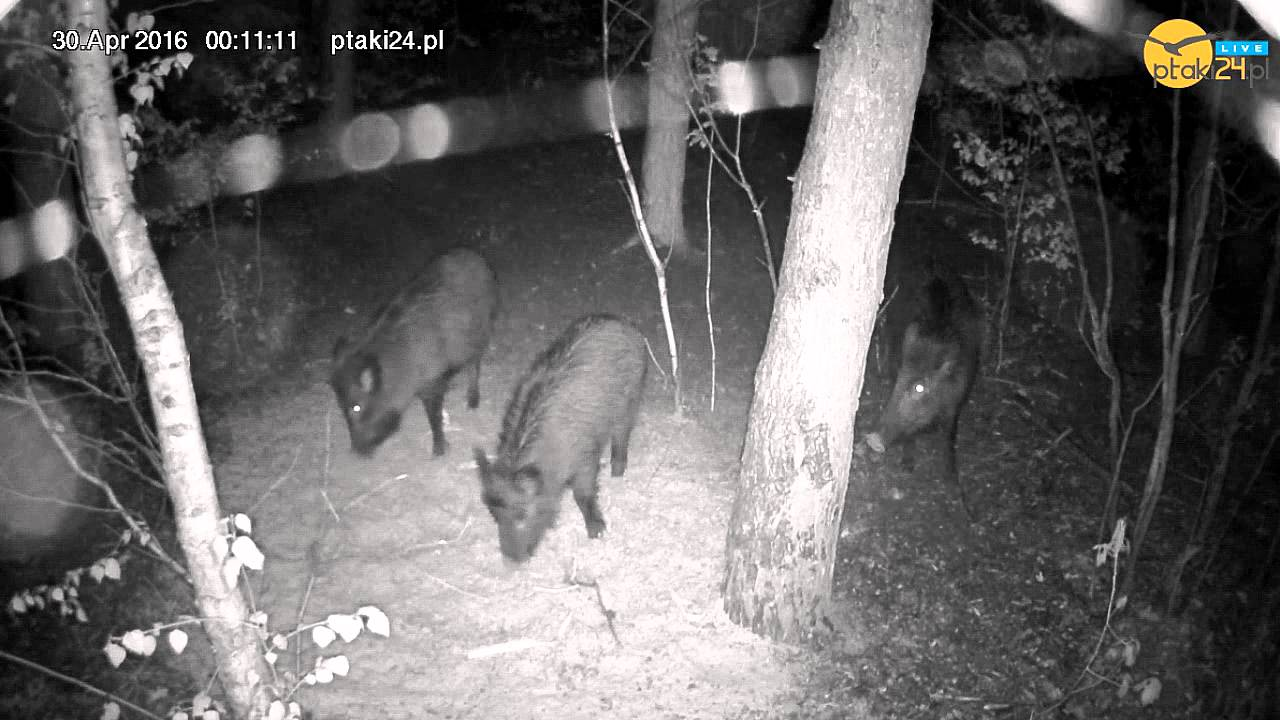 Dziki w karmisku dla zwierząt na Podkarpaciu