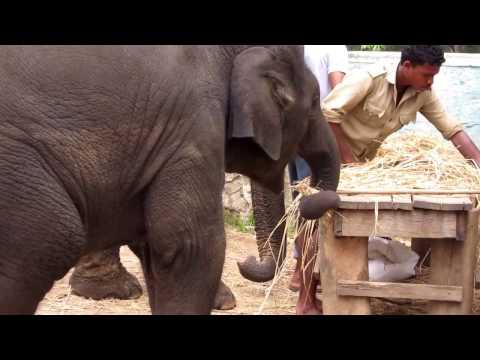 DUBARE Elephant Camp - COORG, Karnataka : Baby Elephant Struggles with Fodder, Finally makes it