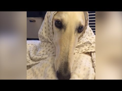 FUNNY BORZOI DOG - VINE COMPILATION