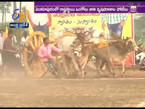 Ongole Bull Race held In Krishna district