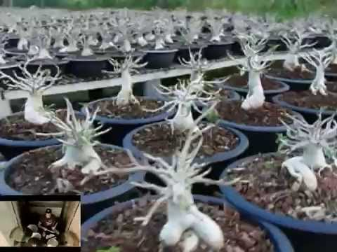 Thai Socotranum | Petch Ban Na Seedlings