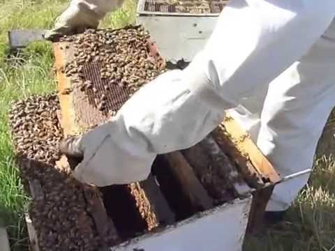 How to rob BEE Hives, Poison GM seeds killing bees