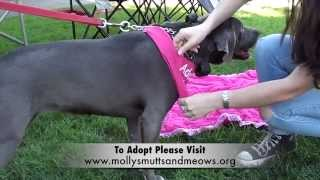 "American Pit Bull Terrier / Weimaraner Mix ""lilah"" - Available For Adoption!"