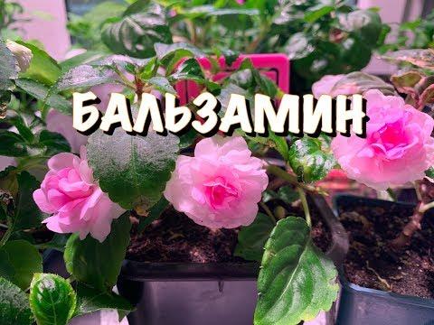 ��БАЛЬЗАМИН КАК СОХРАНИТЬ красивые цветы ЗИМОЙ�� НЮАНСЫ СОДЕРЖАНИЯ и УХОДА