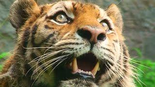 旭山動物園のアムールトラ「のん」。どうやら先週あたりからライオン放...