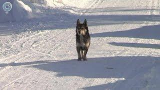 Кто расставляет капканы на собак в деревне Витебск Болотнинского района?