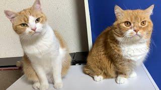 Funny cat family 【マンチカンズ 】愉快な猫家族