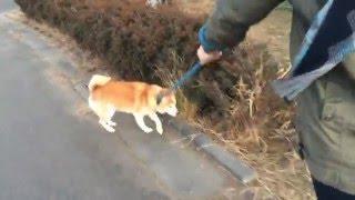 こんにちは。あべこーです。 今回の動画は実家で飼っている犬を散歩した...