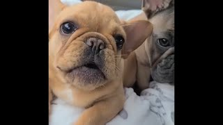 FRENCHIES BEING AMAZINGLY CUTE