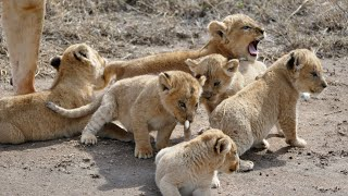 (ORIGINAL AUDIO) ADORABLE! SIX LION CUBS Enjoy Their First Outdoor Adventure (1080p 60FPS)