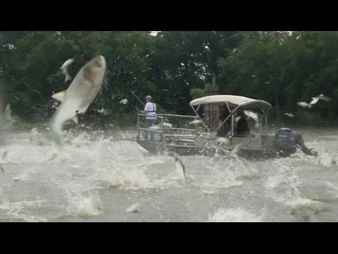 'Monster' jumping carp threat to Great Lakes - BBC News