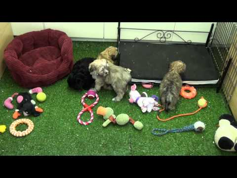 little-rascals-uk-breeders-new-litter-of-malshi-babies---puppies-for-sale-2015