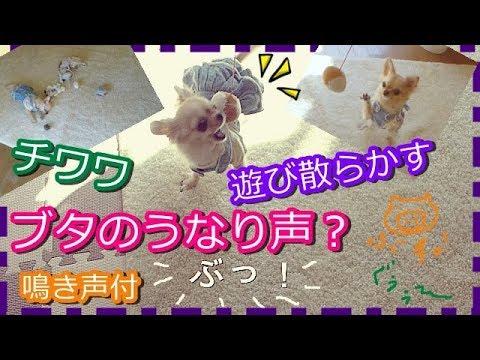 (鳴き声付)ぶたのうなり声?おもちゃで遊び散らかすチワワ~Chihuahua makes a pig-like voice when playing