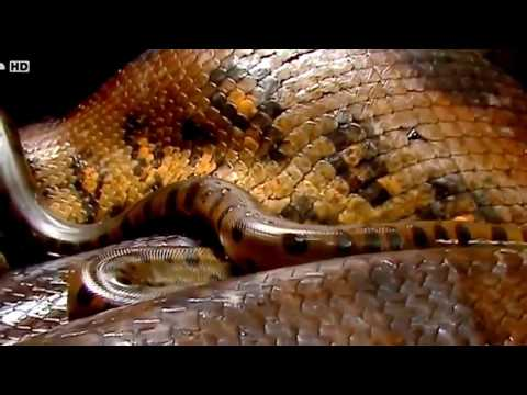 Anaconda - National Geographic Animals