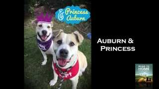 Auburn & Princess: Bonded Rescue Dogs With Road To Home Rescue (farmingdale, Ny)