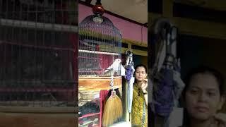 Burung Falk Nyanyi HBD
