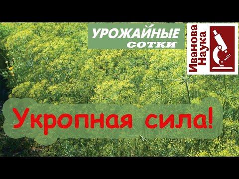 ОЗДОРОВЛЕНИЕ огорода УКРОПОМ! Как вырастить отличный укроп и извлечь из него максимум пользы.