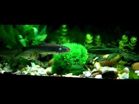Животные ОбзорЫ  выпуск 1 -  речные рыбы в аквариуме (Отечественные рыбы в аквариуме)
