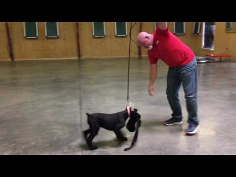 """Giant Schnauzer Female Puppy """"Kemper"""" Early Personal Protection Dog Testing"""