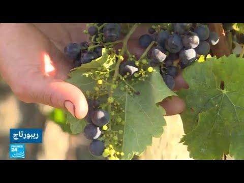 فرنسا.. محصول عنب مخيب للآمال في بوردو بسبب الصقيع  - نشر قبل 3 ساعة