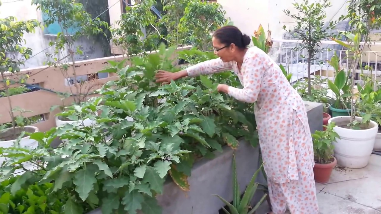 Terrace Kitchen Garden Brinjal On Rooftop Garden Youtube