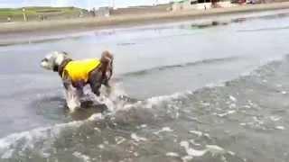 ミニチュアシュナウザー、ノワール9歳の夏。 海開きで砂浜が海水浴場に...