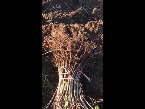 Vivaio vitivinicolo: produzione di barbatelle di vite con Bio Aksxter®