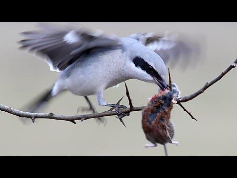 Great Grey Shrike / Серый сорокопут
