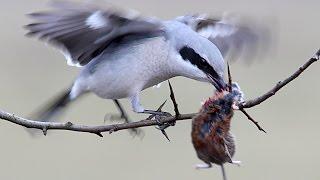 видео Птица сорокопут